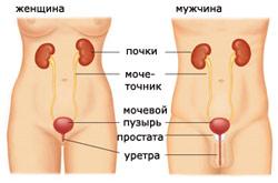 Особенность строения мужчин и женщин