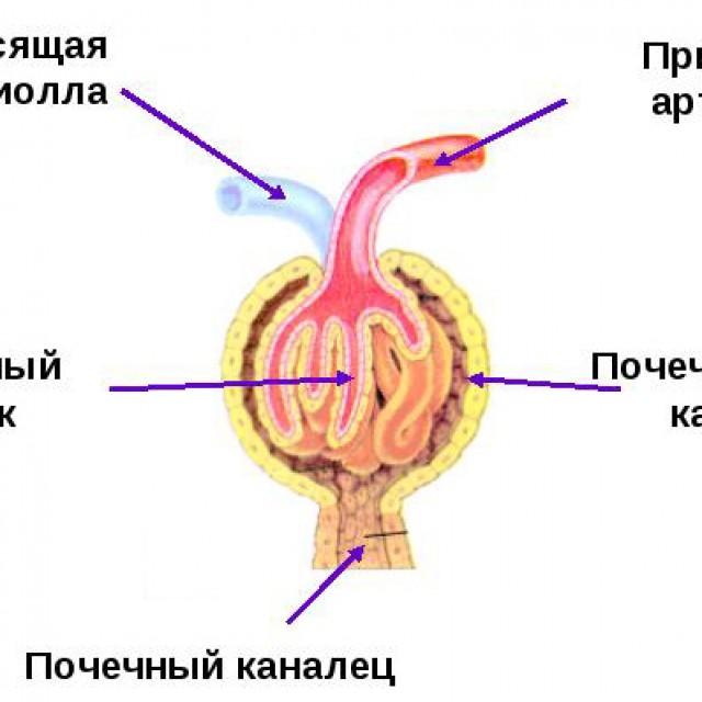 Строение нефрона (Рис. 1)