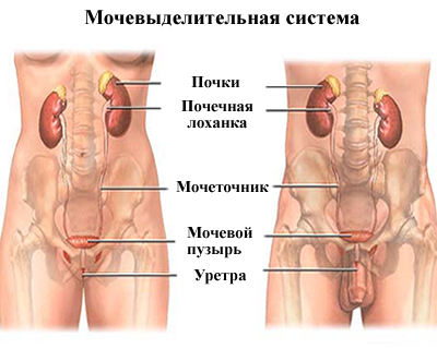 Особенности строения мочевыделительной системы