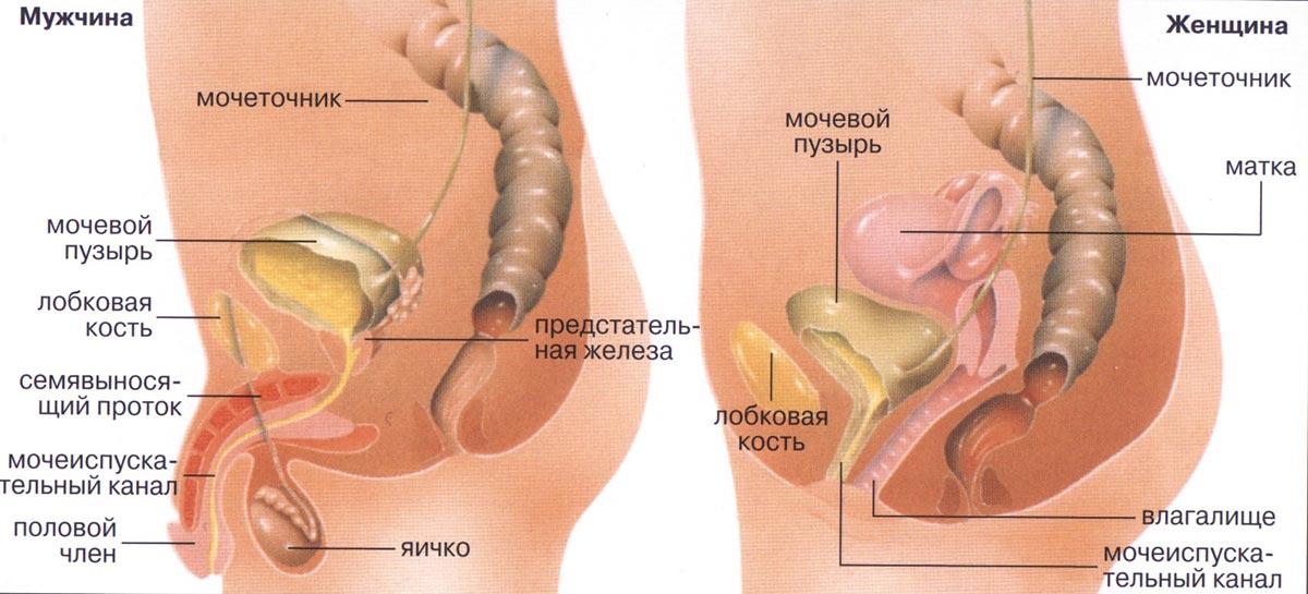 Особенности расположения мочевого пузыря