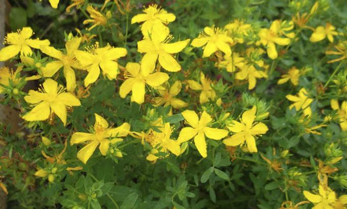 Трава зверобоя содержит танины, флавоноиды и смолы, обладающие противовоспалительными и вяжущими качествами