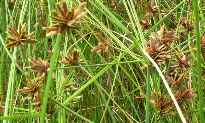 Cыть пленчатая(только корни растения) входит в состав лекарства