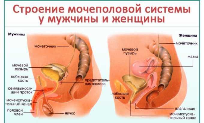 Длина мочеиспускательного канала у женщин 4 см. У мужчин уретра в 3-4 раза длиннее, поэтому бактериям тяжелее попасть в мочевой пузырь