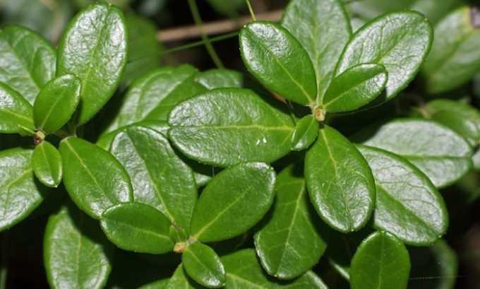 В состав сборов из лекарственных растений чаще всего входят листья брусники