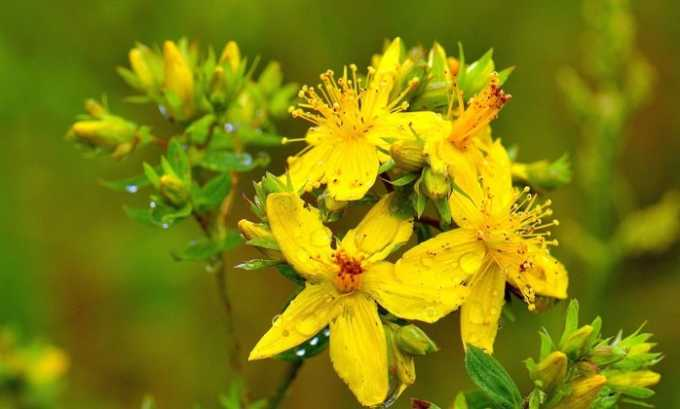 Лекарственная трава зверобой эффективна при лечении цистита