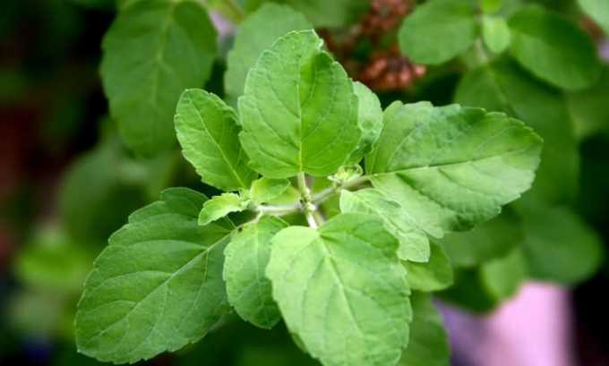 Листья базилика. 1 ст. л. травы заливают 200 мл кипятка, добавляют 30 г меда, отвар принимают утром и вечером по 50 мл