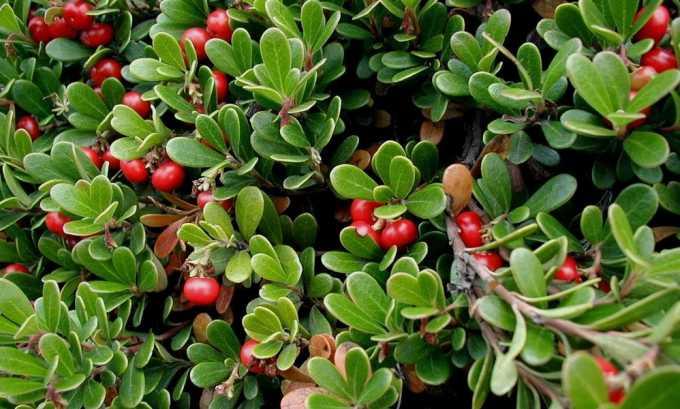 Настой из ягод толокнянки, называемой в народе медвежьи ушки, оказывает мочегонное и антисептическое действие