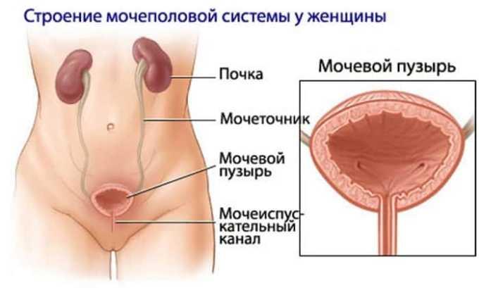 Женский мочеиспускательный канал широкий, но короткий, поэтому бактерии, вирусы и грибки с легкостью в него проникают
