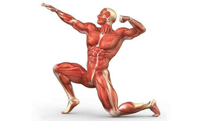 Максимальное содержание компонента наблюдается в мышцах