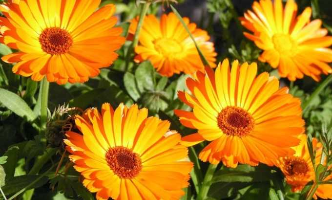Цветки календулы входят в лекарственный сбор для лечения цистита