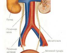 Мочевыделительная система человека — строение, функции, особенности