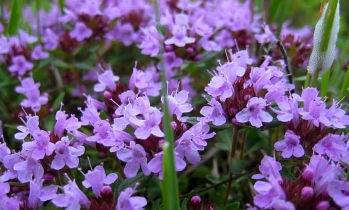 Чабрец - лекарственная трава для лечения цистита