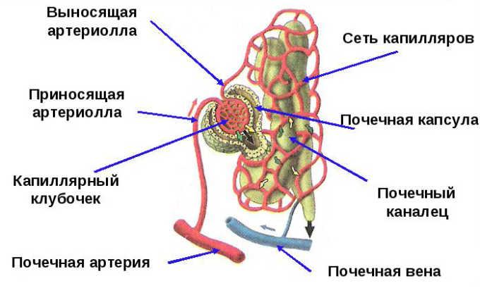Строение нефрона (Рис. 2)