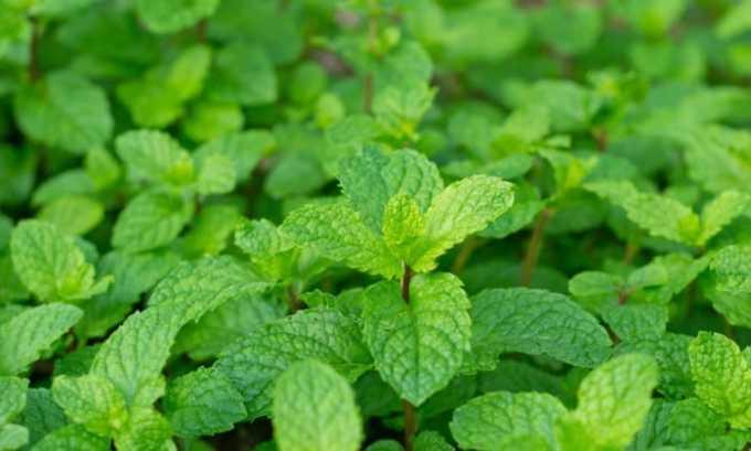 В фитосбор для лечения цистита могут входить листья мяты