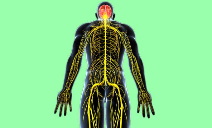 Данная БАД ускоряет прохождение импульсов по нервным волокнам