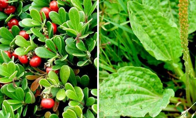 Толокнянка и подорожник оказывают антисептический и диуретический эффекты, для приготовления настоя берут по 3 ст. л. каждого растения и заливают 1 л кипящей воды