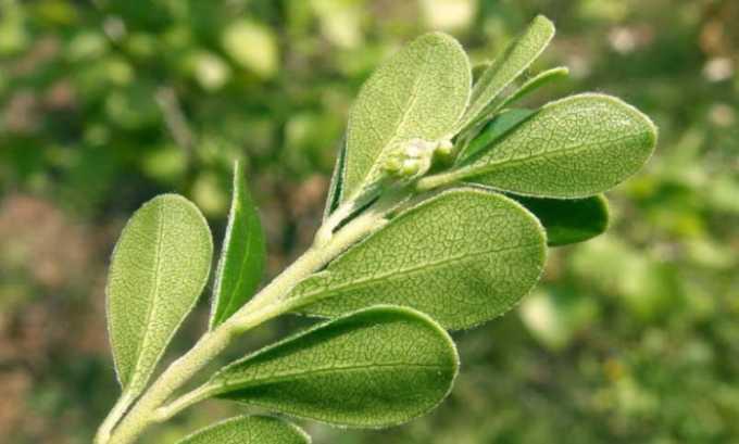 В состав сборов из лекарственных растений чаще всего входят листья толокнянки