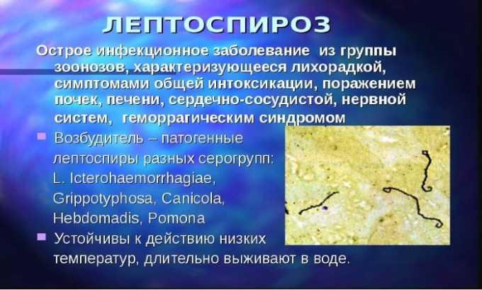 Препарат используют при лептоспирозе