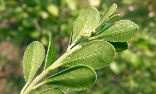 Листья толокнянки нужно растереть в порошок и смешать с сахарной пудрой в равных пропорциях. Принимать 4 раза в день по 1 ч.л