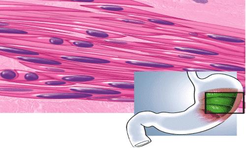 Компонент распределяется в тканевых структурах, попадая в гладко-мышечные ткани